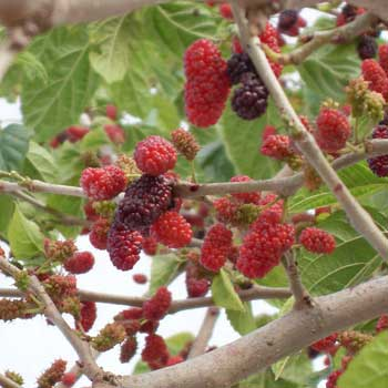 blackmulberry3