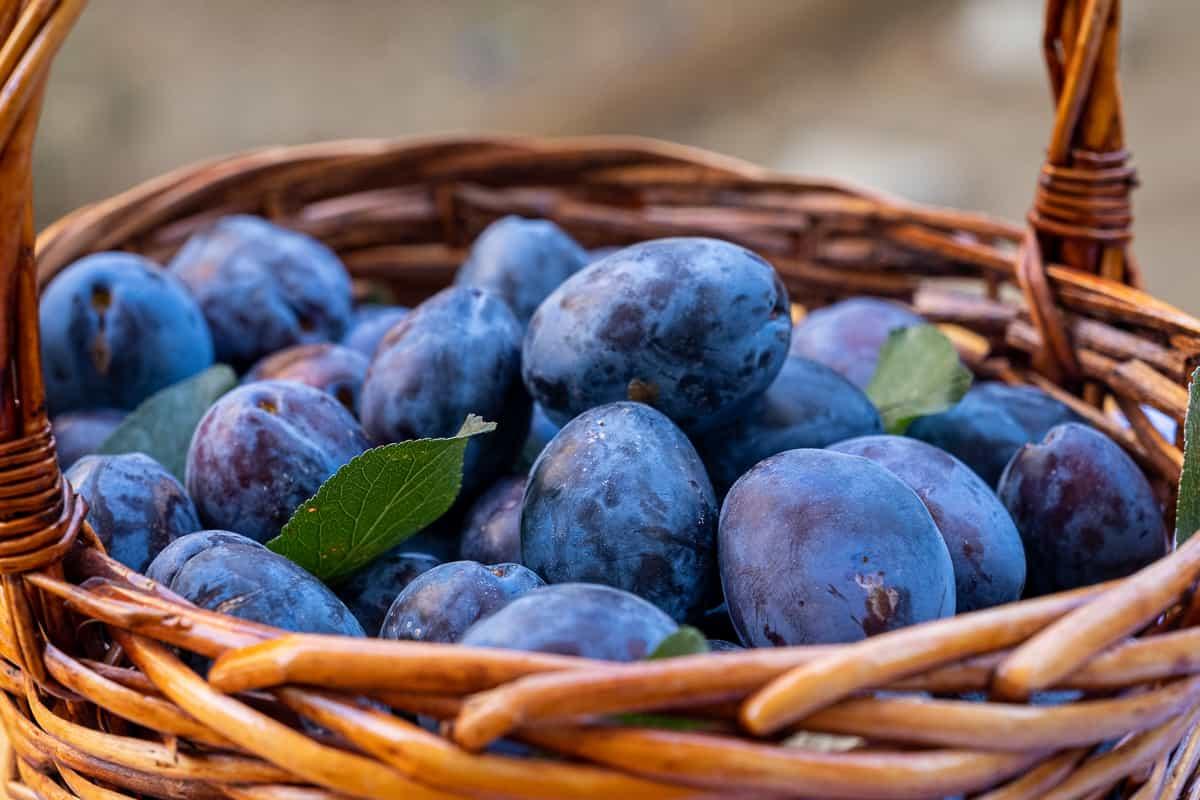 Fresh damson plums in a basket.
