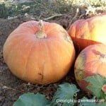 Pumpkin In Season