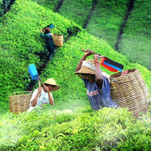 Green Tea Effect on Chemotherapy