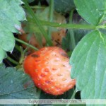 Organic Strawberry Production