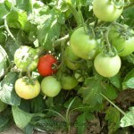Turkish Tomatoes To Russia and Netherlands