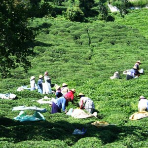 A Revolution To Harvest Tea