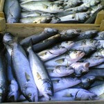 Bluefish Season Here