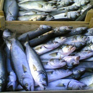 Bluefish Season Here | giverecipe.com
